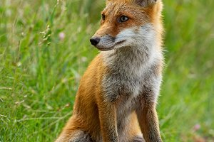 Detail of young red fox sitting on