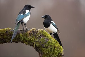 Two Eurasian Magpies on moss covered
