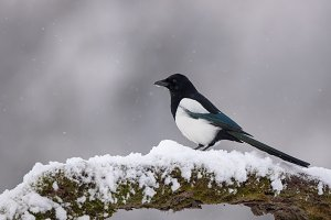 Eurasian Magpie on moss covered