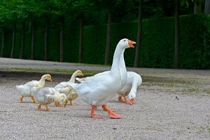 Adult geese and young goslings