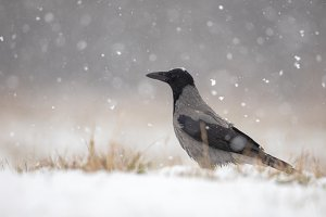 Hooded crow on snow in winter during
