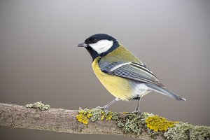 Great tit in winter sitting on a
