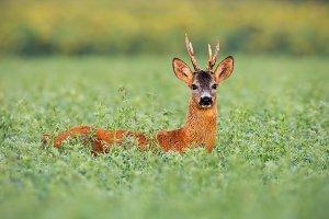 Roe deer buck in tall clover wet