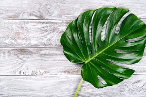 Beautiful green monstera leaves on t
