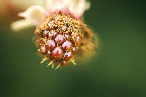 Wild blackberrie