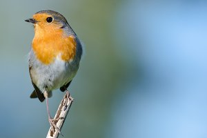 a robin bird Erithacus rubecula with