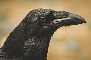 Common Raven (Corvus corax) portrait