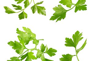 Collection of fresh parsley leaves i