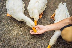 Human hand feeding wild duck, close
