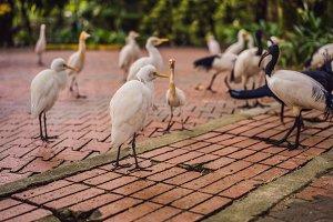 Little Egret Cattle egret Bubulcus