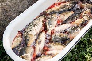 fresh natural carp fish