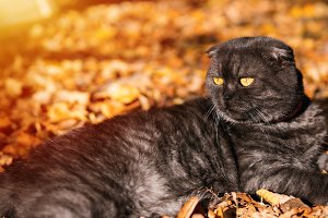 Fluffy cat lying in the autumn folia
