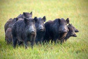 A herd of wild boars on a meadow