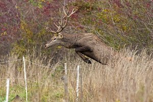Red deer stag jumping over fence mid
