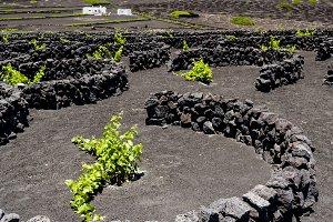 Vineyards in Lanzarote, Canary