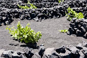 Vineyards in Canary islands