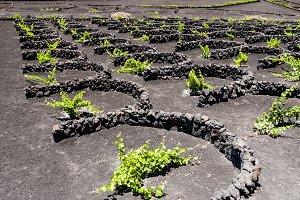 Vineyards in Lanzarote