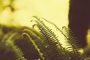 Ferns in Hoh Rainforest