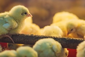 Large group of newly hatched chicks