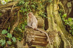 Long-tailed macaques Macaca