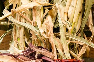 Corn stalks for decoration