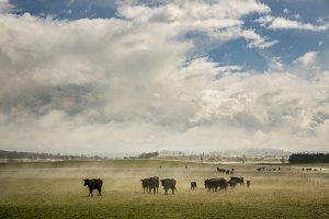 Cattle in field, Tasmania