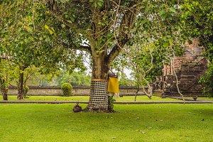 Sarong on the sacred tree, Bali