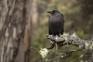 Currawong bird