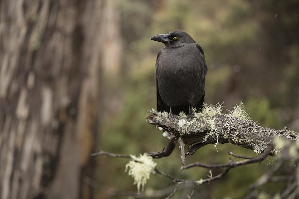 Animal Stock Photos: Visual World - Currawong bird