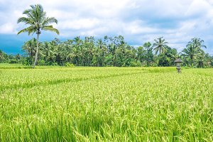 Tropical landscape green rice field