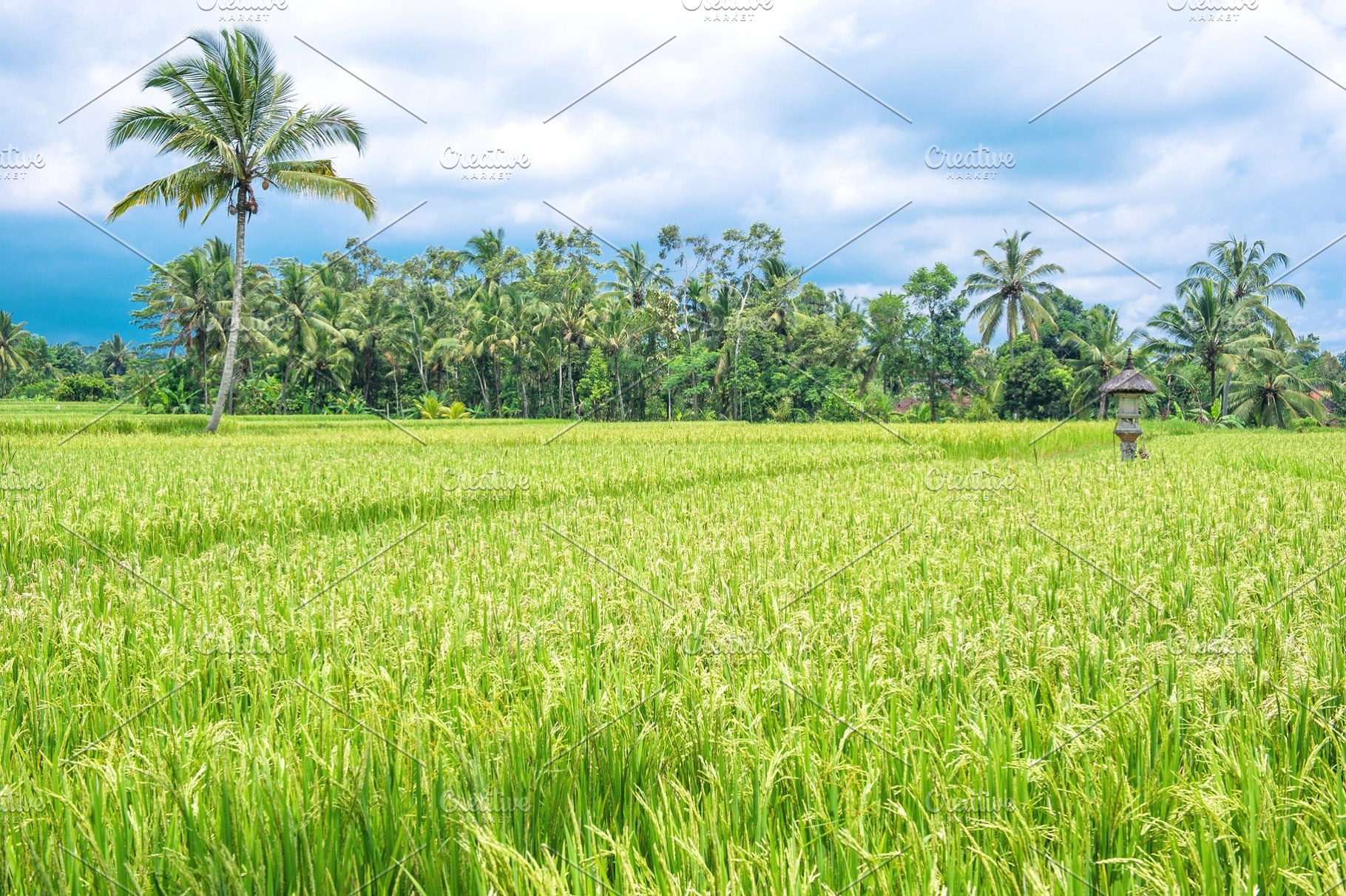Tropical Landscape Green Rice Field High Quality Nature Stock