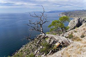 Dried relict pine above the sea