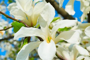 White blossom magnolia tree flowers