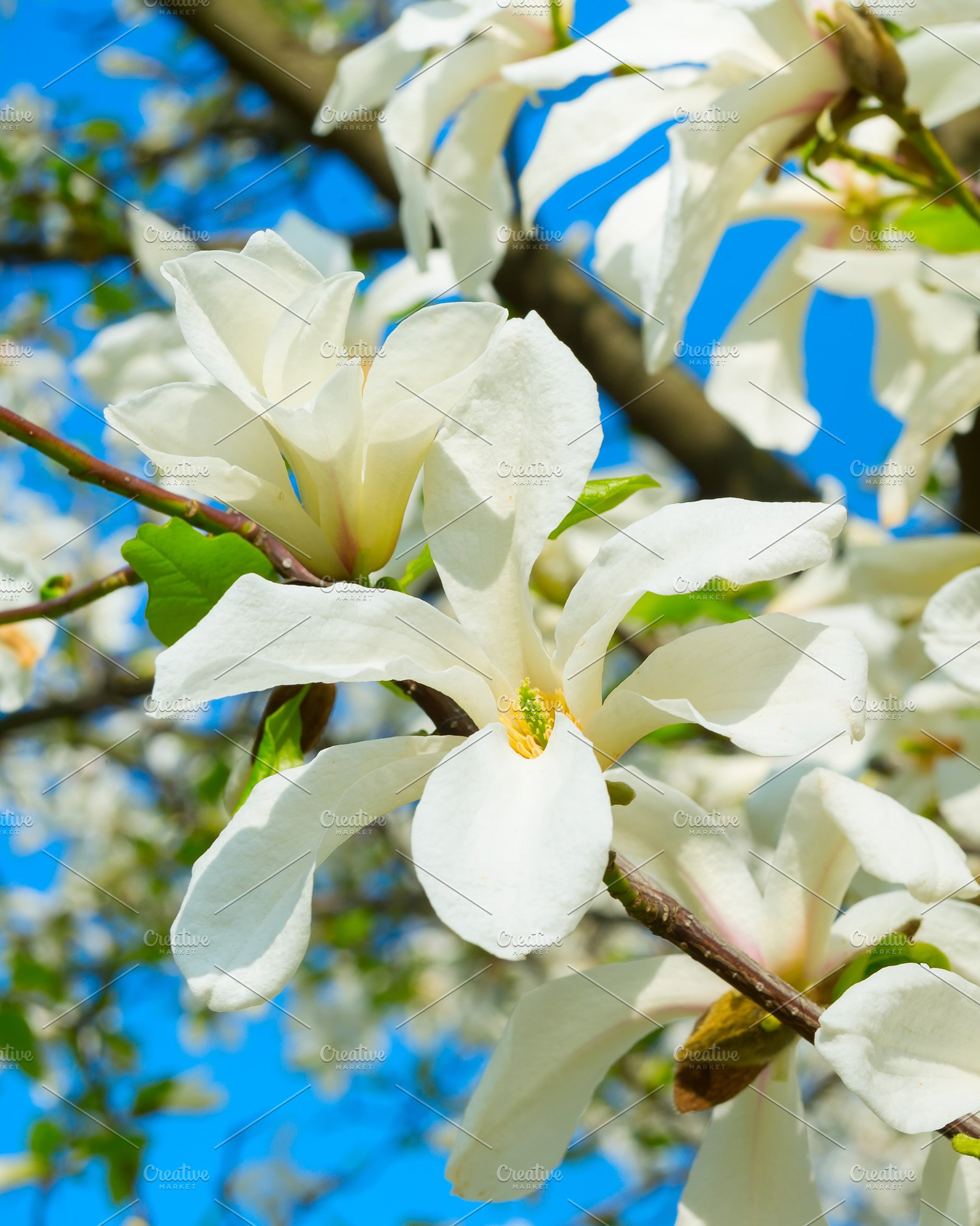 White Blossom Magnolia Tree Flowers Nature Photos Creative Market
