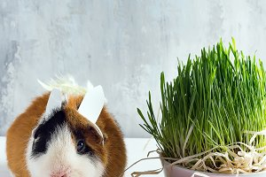 Guinea pig with the ears of the