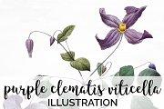 purple clematis viticella Vintage