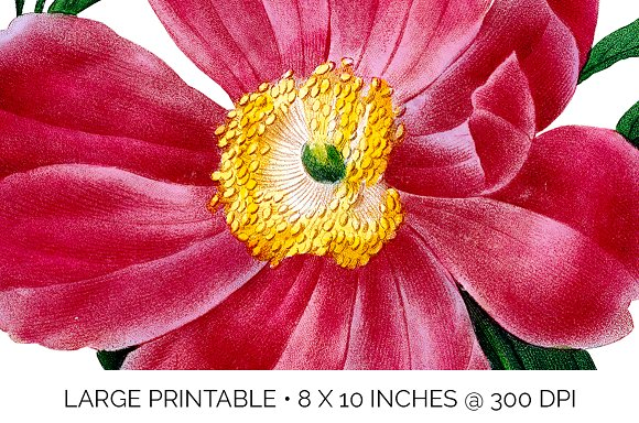 Peony Clipart Pink Flowers in Illustrations - product preview 6