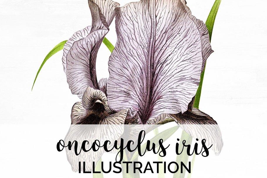 Iris Clipart Flower