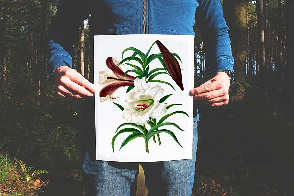Lily White Flowers Lilies in Illustrations - product preview 1