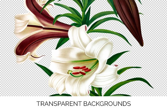 Lily White Flowers Lilies in Illustrations - product preview 2