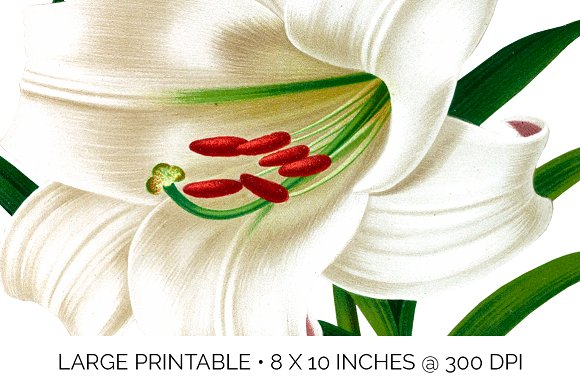 Lily White Flowers Lilies in Illustrations - product preview 4