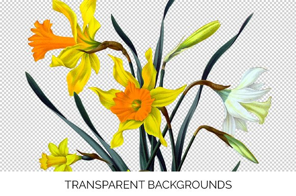 Daffodils Yellow Daffodil in Illustrations - product preview 2