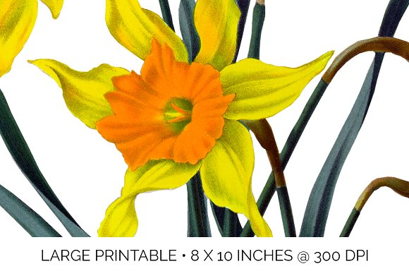 Daffodils Yellow Daffodil in Illustrations - product preview 4