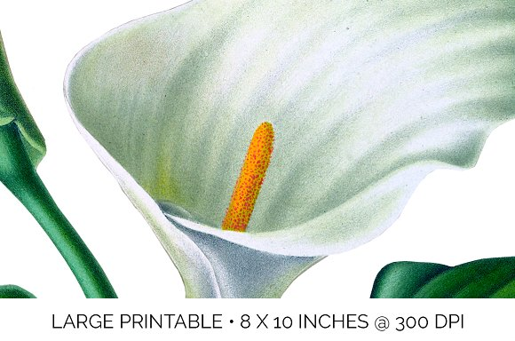 Lily White Flowers Lilies in Illustrations - product preview 3