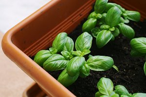 Basil herb in a garden pot
