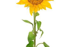 Sunflower isolated on white backgrou