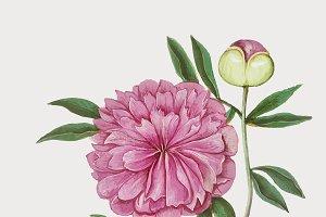 Vintage peony flower illustration