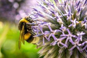 Bumblebee on dahlia flower macro