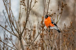 A beautiful red bullfinch bird sits