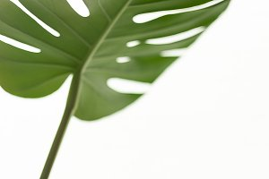 Tropical palm leaf Monstera on white